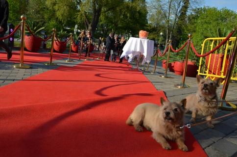 VIP hundar på röda mattan